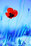 Poppy flowers meadow