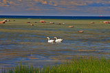 Swans dance