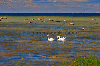 Two eating swans