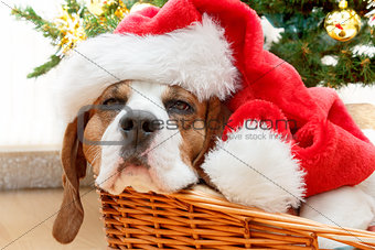 sleeping dog weared to santa hat