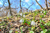 Snowdrops against old leaves in spring time