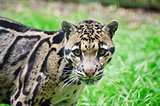 Clouded leopard Neofelis Nebulova big cat portrait