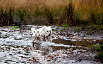 West Highland White Terrier running in water
