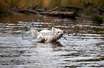 West Highland White Terrier swims with steak