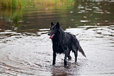  Belgian Sheepdog  (Chien de Berger Belge, Belgian Shepherd)