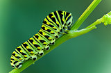 Swallowtail larva
