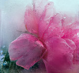  Frozen   pink peony flower 