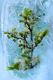  Frozen     cherry flower 
