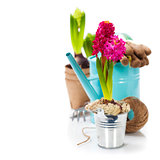 Fresh Hyacinth flower bulb in pot and garden tools