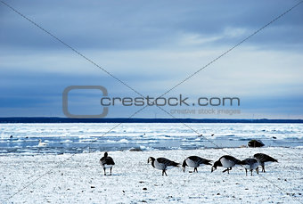 Grazing geese