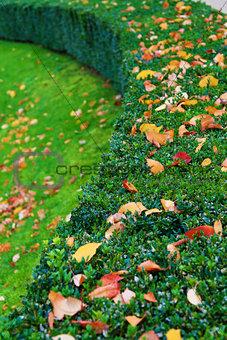 Boxwood bush with autumn leaves