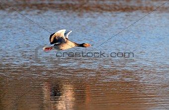 Gray goose in flight