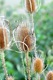 Teasel