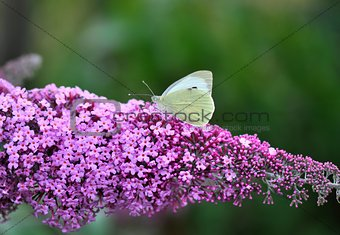Cabbage butterfly on Lilac