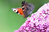 peacock butterfly on Lilac flower