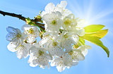 white blossoming cherry tree twig