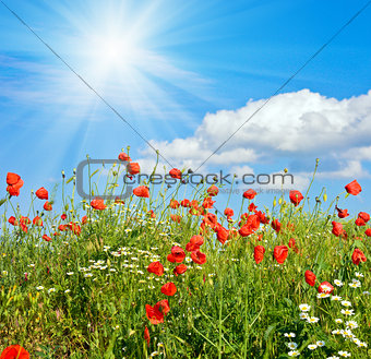 Beautiful poppy summer glade and sunshine