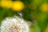 Dandelion close-up on a green background.