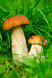 cep boletus. mushroom in forest
