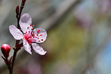 Beautiful flower of Japanese plum
