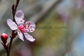 Beautiful flower of Japanese plum