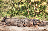 water buffalo lay sleeping in northern thailand