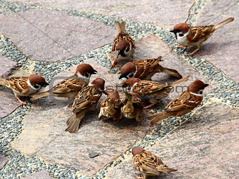 Eurasian Tree Sparrows feeding