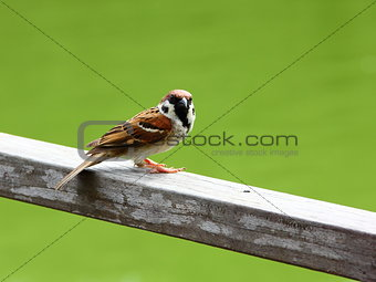 Lone Eurasian Tree Sparrow looking at camera