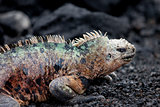 Male Marine Iguana