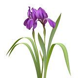 Purple Iris Flowers Isolated on White Background.