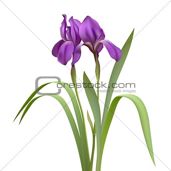 Purple Iris Flowers Isolated on White Background.