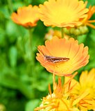 Grasshopper on a flower calendula