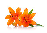 Two orange lily