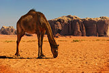 Camel in Wadi Rum