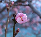 Almond blossom. macro