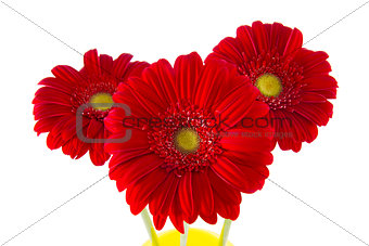 three red gerberas