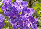 Orchid Vanda
