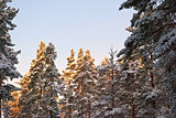 Sun in the fir trees.