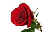Red rose on white.