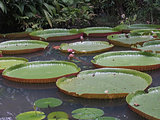 Giant Water Lillies (064)