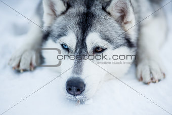 Tired Siberian husky sled dog closeup portrait