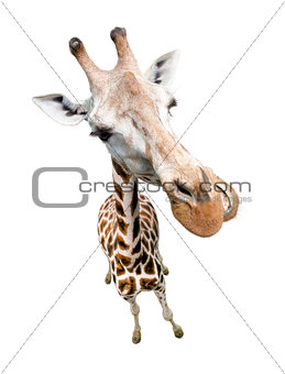 Giraffe closeup portrait isolated on white. Top view wide lens s