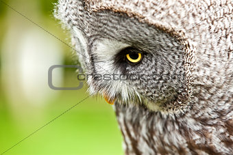 Great Gray Owl close up