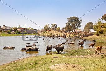 Indian herdmsan watering his cattle