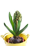 hyacinth bud in a pot on a white background