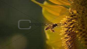 Bee flying towards sunflower