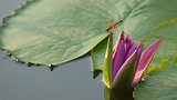 Dragonfly pink lotus green background
