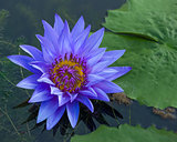 Blue lotus petals and purple pollen