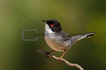 Beautiful Sylvia melanocephala warbler