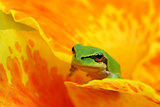 Hyla tree frog in yellow and orange flower
